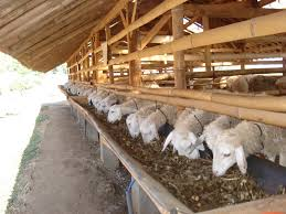 domba aqiqah dan kambing aqiqah